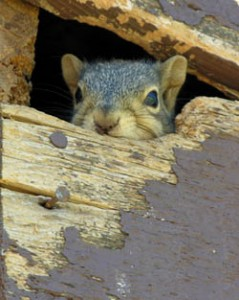 squirrelinattic