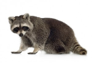 city raccoon